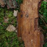 Suure- säsiüraski haudepilt puukoore all.