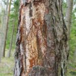 Suure- säsiüraski värske kahjustus puukoore all.